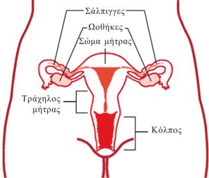 γεννητικό σύστημα